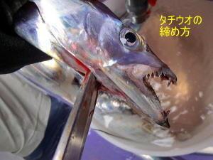 太刀魚の締め方