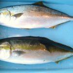 ブリとヒラマサの違いや見分け方!味・値段・旬、出世魚についても