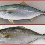 カンパチとブリの違い! 見分け方や出世魚か、値段・味・旬等は違う?