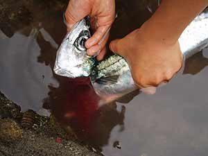 太刀魚サバ折