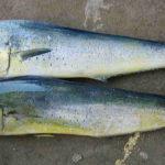 シイラの味の特徴は?味付けや似てる魚、うまい・おいしいか、通販も