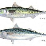 鯖の旬の時期・季節はいつ?産地はどこか、食べ方や鮮度の見分け方も