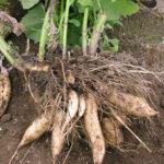ヤーコンの収穫の時期はいつ?保存・貯蔵方法やその効果・効能も紹介