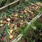 玉ねぎの収穫の時期は?タイミングや見分け方、保存方法・やり方も