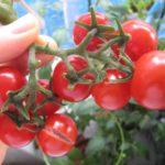 ミニトマトの収穫の時期は?タイミングの見分け方、やり方や保存方法も
