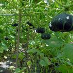 かぼちゃの収穫の時期は?タイミングの見分け方、収穫方法や保存方法も