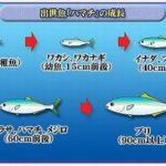 ハマチは出世魚?イナダとブリとの関係や名前の変化の順番、生態も