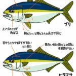 ブリとヒラマサとカンパチの違い!見分け方や特徴、出世魚は?
