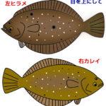 ヒラメとカレイの違いは?味や見分け方、右向きと左向き、口等でも判断できる!