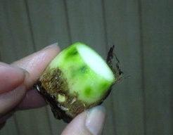 里芋 緑 14