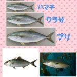 ブリとハマチの違い!カンパチとの違いやどれが出世魚か、見た目や身質、味や旬も違う