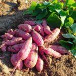 さつまいもの葉っぱの食べ方やその栄養!茎の食べ方、保存方法や期間や日持ちも