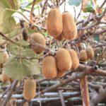 キウイの収穫の時期は?完熟の目安、保存方法や賞味期限・日持ち、追熟のやり方も