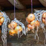 玉ねぎの賞味期限・日持ちは?保存方法や腐るとどうなるか、新鮮な物の見分け方も